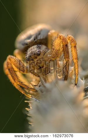 Small hair laterigrade spider beautifully illuminated sun