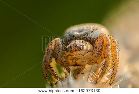 Small hair laterigrade spider beautifully illuminated sun