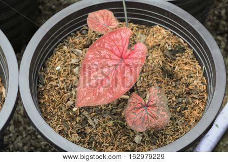Caladium  bicolor beautiful in potted garden .