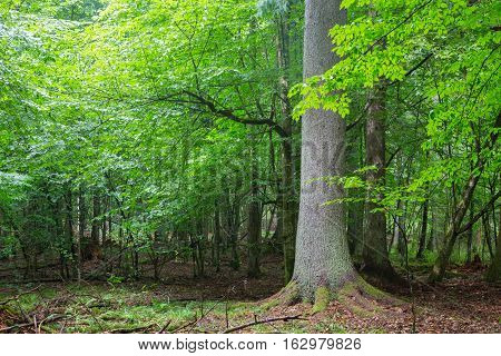 Old spruce tree against shady rich deciduous stand in summer sunset light, Bialowieza Forst, Poland, Europe