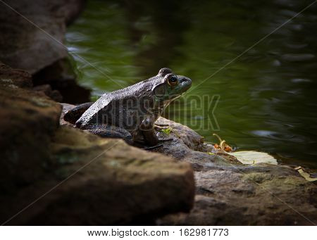 A bullfrog sitting on the edge of a shoreline bank.