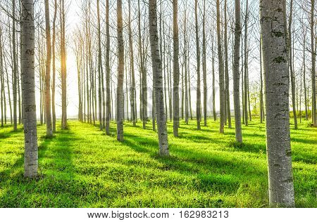 Forest trees. nature green wood sunlight backgrounds. Trees without leaves
