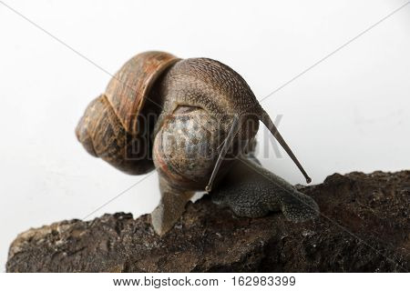 Two land snails with long antennaes creeping on one another
