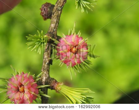 Young Larch Needles And Pine Cone In Spring.