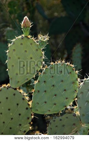 Prickly Pear Cactus, with faded flowers, New Mexico