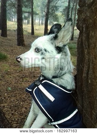 Blue merle border collie sitting in woodland setting