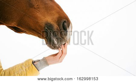 Horse Muzzle Of The Face With A Woman's Hand, Concerns The Nose. Animal Close-up Portrait On A White