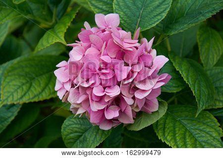 Flower pink hydrangea. In the summer garden.