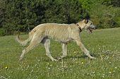 irish hound running across the green grass poster