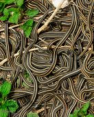 Narcisse Manitoba Canada: Every spring thousands of Red Sided Garter Snakes (thamnophis sirtalis parietalis) emerge from limestone caves to mate. The males pull each other away by their tails in an attempt to mate with the females - resulting in the class poster