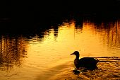 Duck on rural village pond at sunset. Church and tree reflections on the water poster