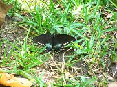 Beautiful Black butterfly in the green grass. poster