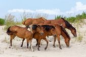A group of wild ponies horses of Assateague Island on the beach in Maryland USA. These animals are also known as Assateague Horse or Chincoteague Ponies. They are a breed of feral ponies that live in the wild on an island off the coast of Maryland and Vir poster