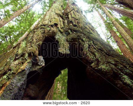 Tree Crotch