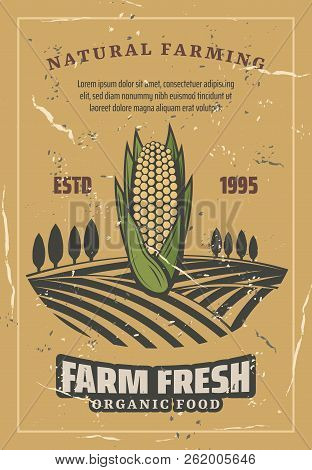 Corn Harvest, Retro Style Vector. Natural Farming And Agriculture Harvest. Organic Corncob Or Vegeta