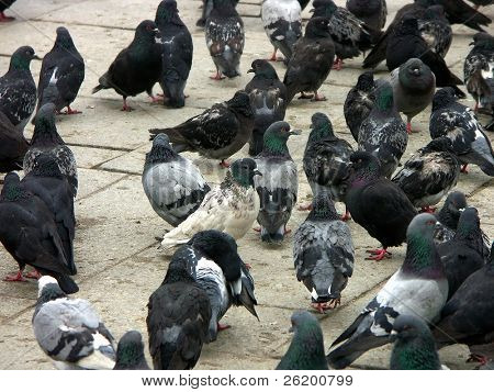 Flock of pigeons on the town square poster