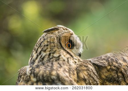 Portrait Of Long Eared Owl, Asio Otus, Beige, Black And White Owl With Bright Orange Eyes, Looking S