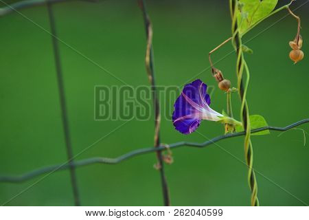 Blue Flower Of Morning-glory (ipomoea) On Fence