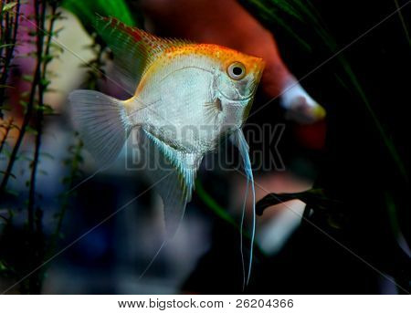 Gold-silver Angelfish