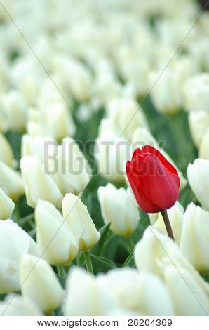 Single red tulip in between white tulips, metaphor of leadership and dare to be different