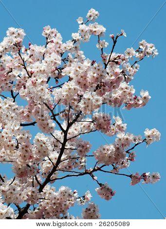 Cherry blossom against blue sky (Ueno Park, Tokyo)