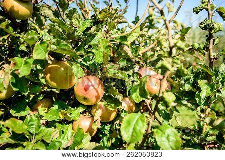 Fresh Ripe Organic Apples On Tree Branch In Apple Orchard.