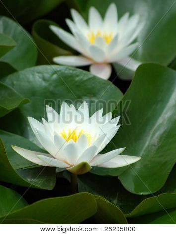 Wild white lotus in Tokyo