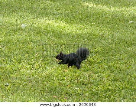 Black Squirrel With Peanut