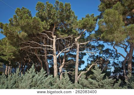 Pine Tree And Pine Cone . Pine Tree With Cones . Pitch Pine Trees With Fresh Brown Pine Cones And Gr