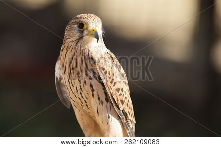 Female Lesser Kestrel Perched On Roost. Wounded Animal At Bird Rescue Center, Spain