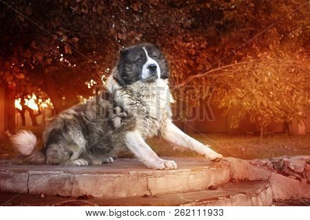 Fluffy Caucasian Shepherd Dog In The Yard. Caucasian Sheepdog In Autumn Time.adult Caucasian Shepher