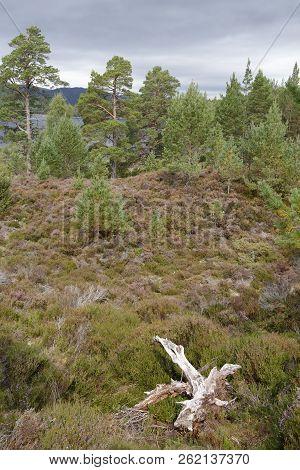 Regenerating Caledonian Pine Forest, Loch an Eilein, Rothiemurchus Forest, Speyside, Scotland poster