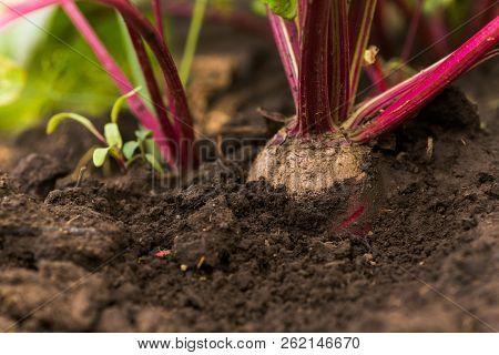 Sea Beet, Beta Vulgaris Subsp. Maritima, Beetroot, Table, Garden, Red, Or Golden Beet, Beet Greens R