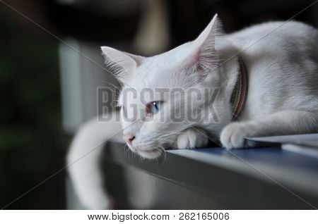Siamese Cat Is The Thai Domestic Cat, Very Cute And Smart Pet In House, White Cat, Cat Feeling Lonel