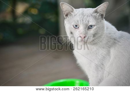 Siamese Cat Is The Thai Domestic Cat, Ugly Cat, Dirty Cat And Smart Pet In House, White Cat.