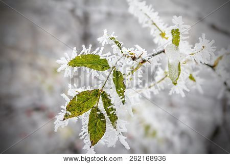 Leaf Hanging On A Tree Covered With Hoarfrost. Morning Frost Deposition. Early Frosts, Freezing, Sof