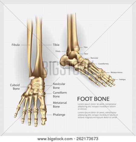 Human Anatomy Foot Bone With Detail Vector Illustration