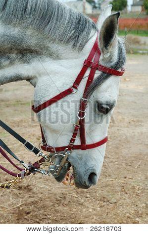 head shot of a grey arabian stallion poster
