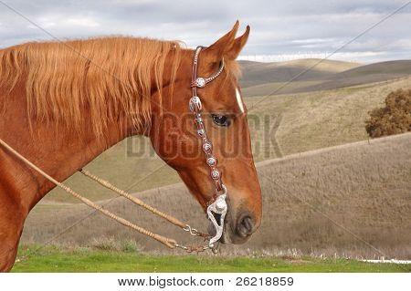 A fine Saddlebred Stallion with Western bridle