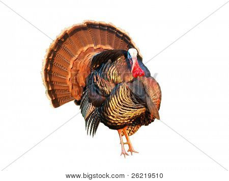 Turkey tom strutting over white
