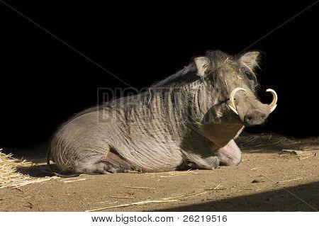An African Wart Hog (phacochoerus africanus) resting