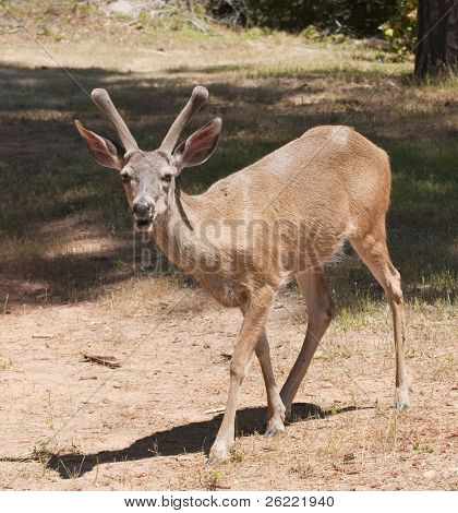 closeup of a male (buck) Black-tailed deer indigenous to California still in velvet