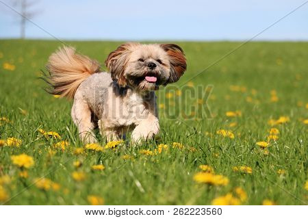 Beautiful Lhasa Apso Is Running On A Field With Dandelions