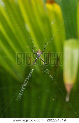 Argiope argentata (Araneidae)  known as Silver Argiope
