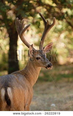 closeup of a black-tailed buck
