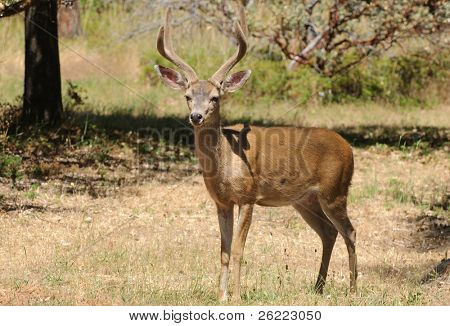 Californian Black-tailed buck looking at viewer