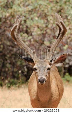 closeup of a Californian Black-tailed buck looking directly at the viewer