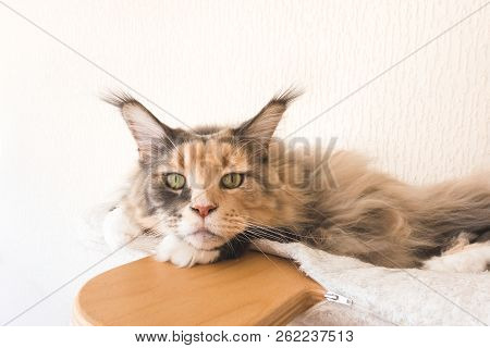 Closeup Of A Blue Tortie Tabby With White Maine Coon Cat Female With Long Lynx Tips On Her Ears Layi