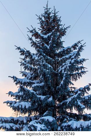 Snowy Conifer In The Winter At Dawn .