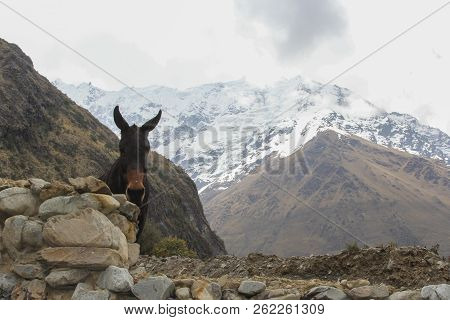 A Donkey In The Andes Near Cuzco In Peru. Salkantay Mountain.
